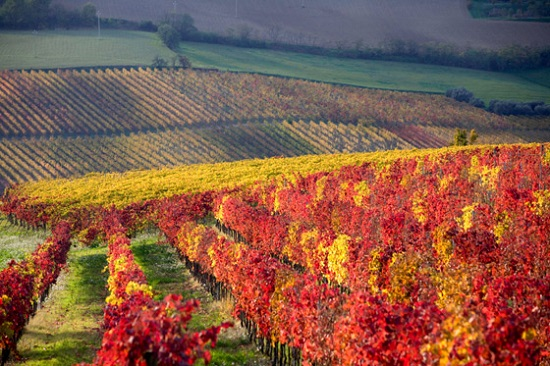 20101101_vineyard_autumn_560x373